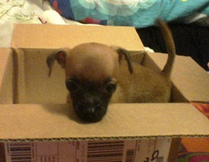 Brown puppy with black muzzle in a box.