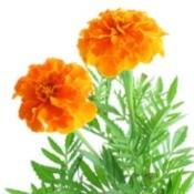 Growing: Pot Marigold