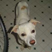 White Pit mix with light brown ears and patch.