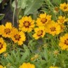 Growing: Coreopsis (Tickseed)