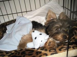 Bogey (Yorkshire Terrier)