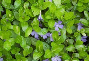 how to get rid periwinkle