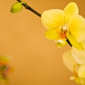 Close up of yellow orchids