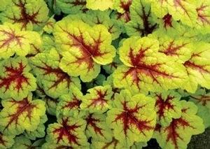 colorful foliage plants