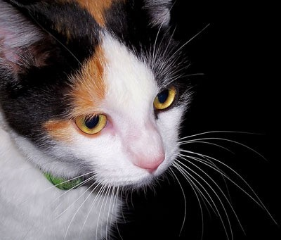maggie the cat calico thriftyfun