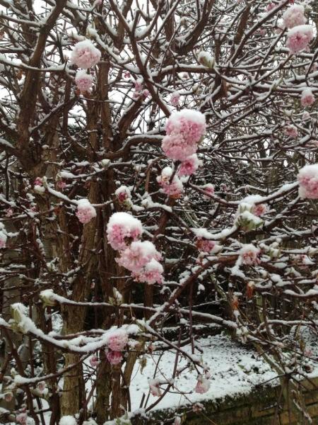 Pink flowers on viburnum, closeup.