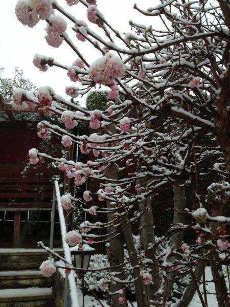 Pink viburnum flowers.