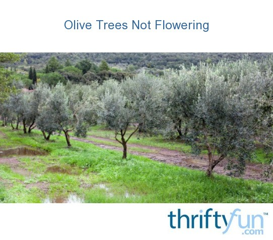 Olive Trees Not Flowering Thriftyfun