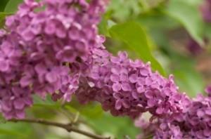 Flowering Lilacs