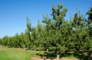 Pear Trees Not Flowering