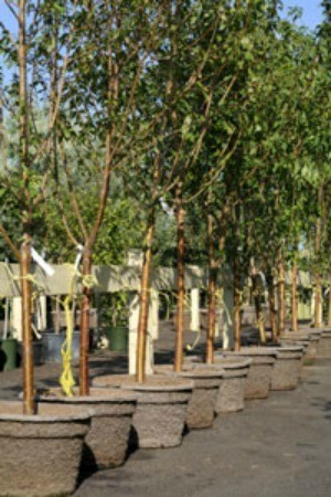 Buying Trees and Shrubs