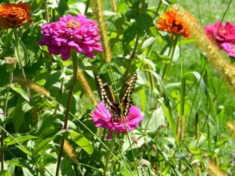 Butterflies and Zinnias