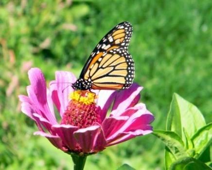 Butterflies_and_Zinnias