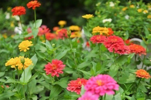 Merveilleux Few Annuals Look As Cheerful And Appealing In The Garden As Zinnia Flowers.  They Come In A Wide Range Of Sizes And Forms; From Single Stemmed Upright,  ...