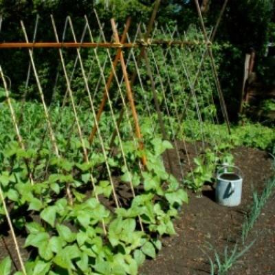 Comparing Bush Beans And Pole Beans Thriftyfun