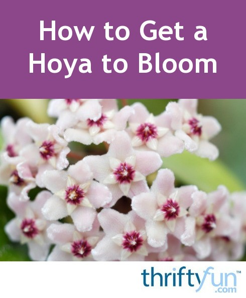 How To Get A Hoya To Bloom Thriftyfun