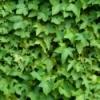 Getting Rid of Ivy
