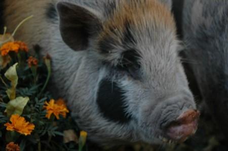 Johnc (Potbelly Pig)
