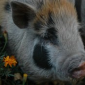 Johnc (Potbelly Pig)