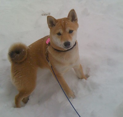 Foxy (Shiba Inus)