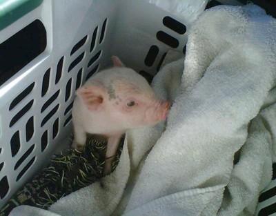 Quincy (Miniature Pot Belly Pig)