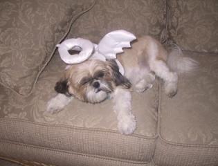 Treasure (Shih Tzu) - dog wearing an angel costume.