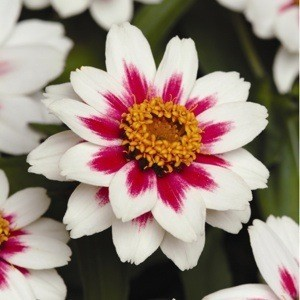 Zahara Starlight Rose