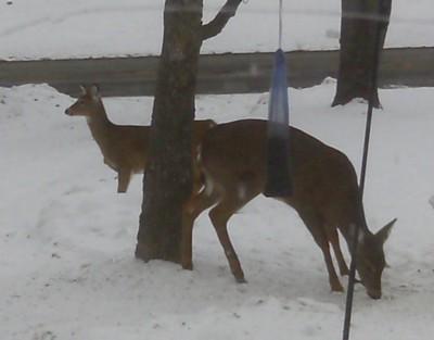 deer at bird feeder