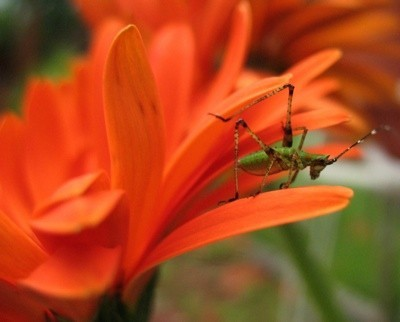 Insect on orange flower.