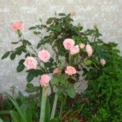 Pink roses blooming next to a wall.