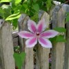 A flower growing through the fence.