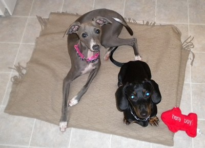 Italian Greyhound with dachshund
