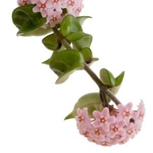 Growing flowering vines indoors thriftyfun pink clusters of flowers mightylinksfo