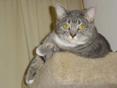 Bella (Domestic Shorthair)