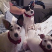 Toby, Ty, and Tiny (Fox Terriers)