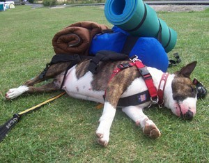 Dog with back pack, lying down.