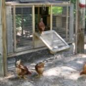 Homemade Chicken Coop
