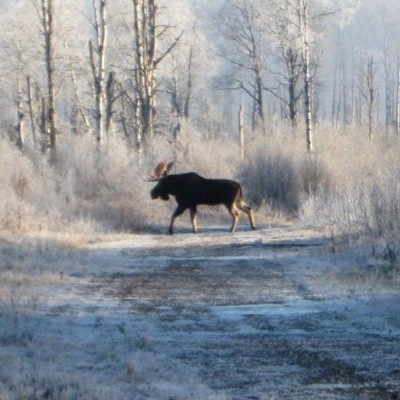 Closeup of moose crossing a dirt road.