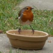 European robin on a planter.