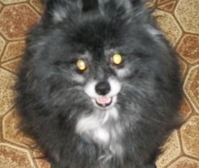 Chunky Monkey (Pomeranian)