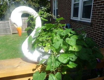 Green morning glory leaves growing out of a white goose planter.