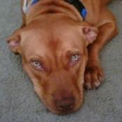 Roxy (Pitbull)
