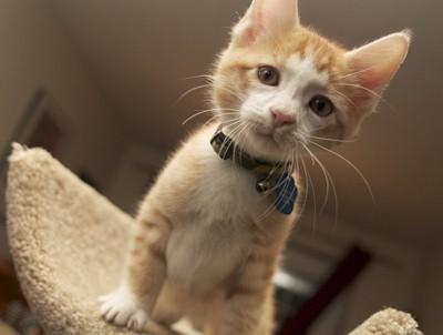 kitten with blue collar