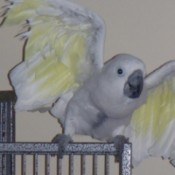 Syringe Feed Parrots Regularly