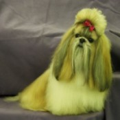 Nikko (Shih Tzu) - Groomed long haired Shih Tzu with hair tied up.