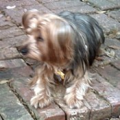 Sasha (Yorkshire Terrier)
