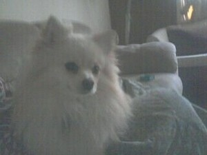 Mick (Pomeranian)