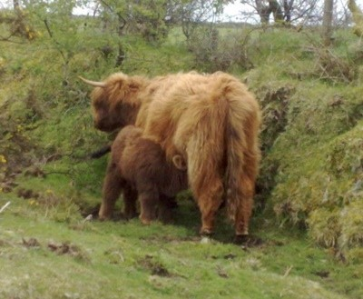 long haired brown cattle, mom and baby