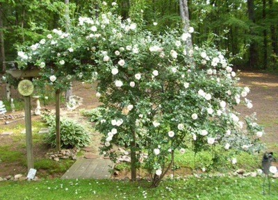 Roses growing on arbor.