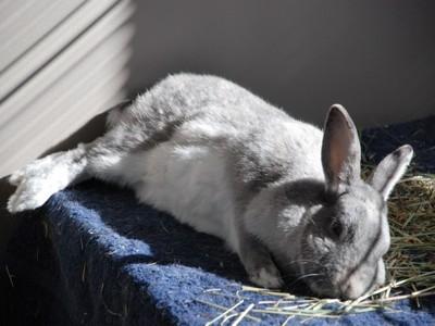 Willow (Dwarf Rabbit)